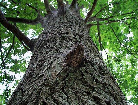 Tree, The Bark, Konary, Nature, Natural Monument