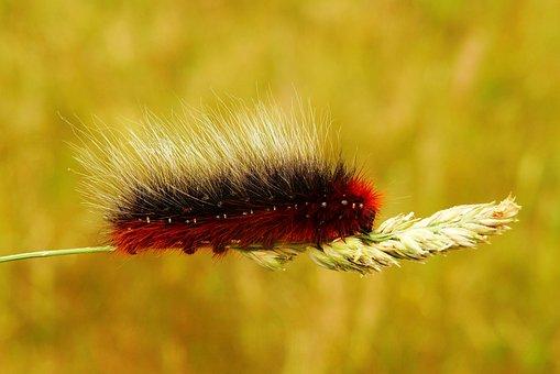 Niedźwiedziówka Kai, Caterpillar, Mols, Animals, Nature