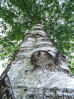 Birch, Tree, Tribe, Nature, Leaves, Wood