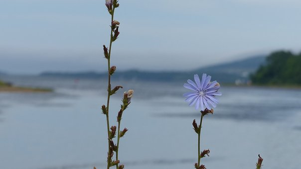 Wildflower, Blue Flower, Chicory, Ocean