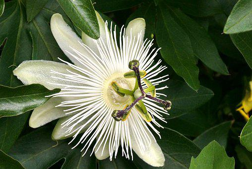 White Passion Flower, Bloom, Passion Flower, Garden