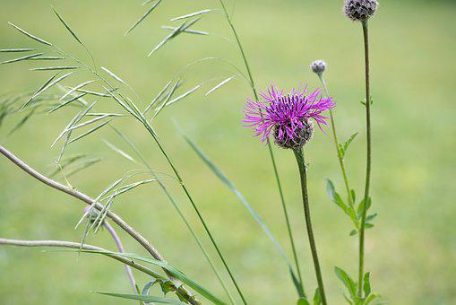 Knapweed, Flower, Pink, Pink Flower, Pointed Flower