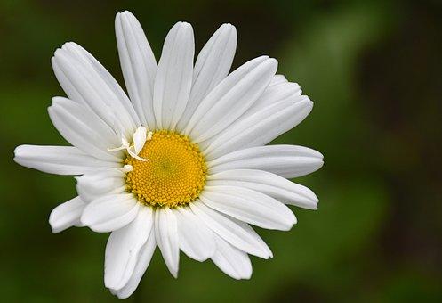 Daisy, Flower, Nature, Flowering, Flowers, Plant