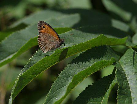 Butterfly, Brown, Wings, Insecta, Rest, Plant, Nature