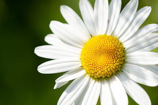 Marguerite, Pointed Flower, White, White Flower