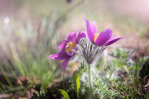 Anemone, Purple, Purple Anemone, Flower, Purple Flower