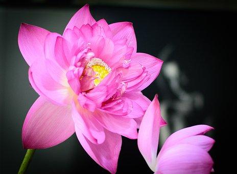 Lotus, Lotus Purple, Purple Flowers