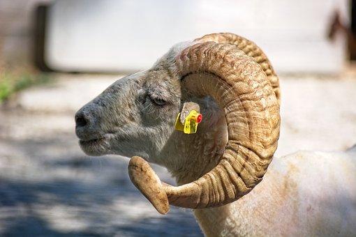 Horned, Aries, Bock, Sheep, Ram, Horn, Livestock, Horns