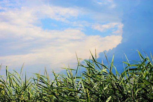 Reed, Riverside, Sky, Cloud, Storm, Summer, Nature