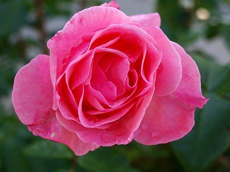 Rosa, Rocio, Petals, Pink Flower, Drops Dew, Flowering
