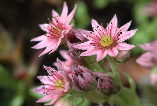 Houseleek, Plant, Sempervivum, Nature