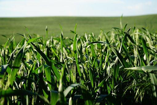 Grass, Green, Sky, Wheat, Farming, Farm, Summer, Spring