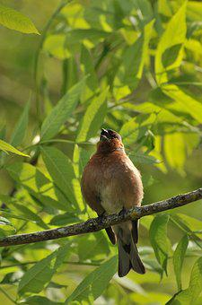 Chaffinches, Bird, Nature, Animals, Animal Life, Spring