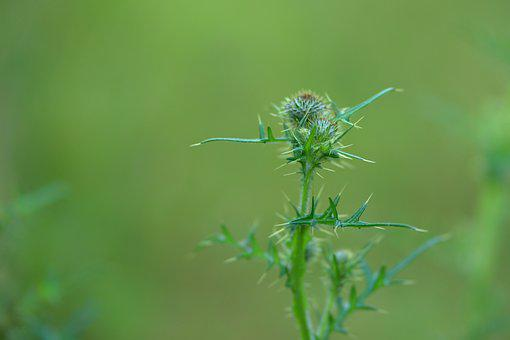 Thistle, Sting, Prickly, Summer, Plant, Flora, Flower