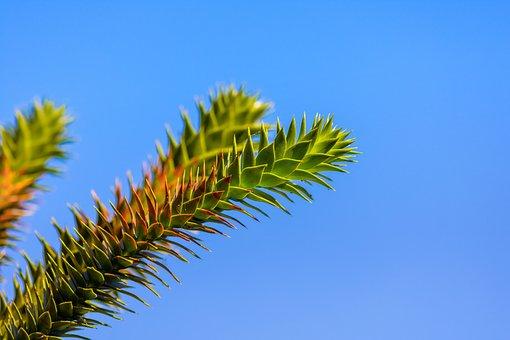 Araucaria, Chilean Schmucktanne, Snake Tree, Tree