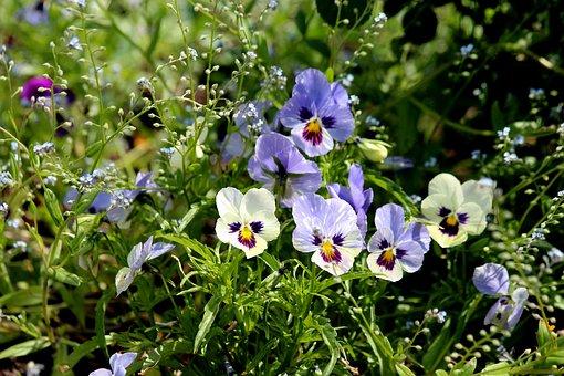 Pansies, Violet, Viola Tricolor, Summer Flowers