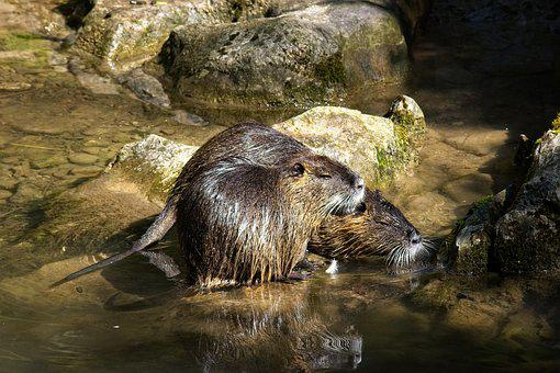 Nutria, Coypu, Rodent, Water, Waters, Species Of Rodent