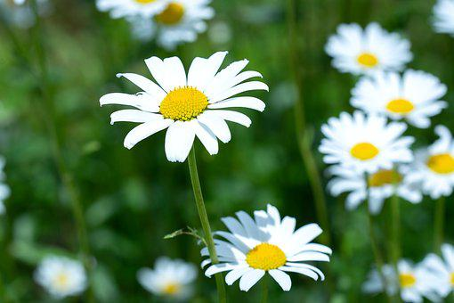 Daisies, Flowers, Flower Meadow, White, White Flowers