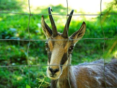 Chamois, Gams, Wild, Wild Species, Wild Animal, Fence