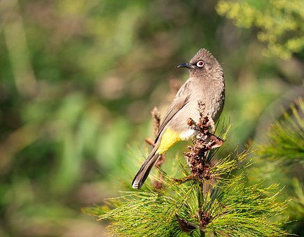 Cape Bulbul, Bird, Nature, Wildlife, Animal, Wild