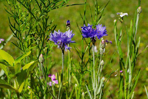 Cornflower, Pointed Flower, Meadow, Bloom, Wild Flowers
