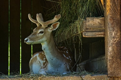 Fallow Deer, Damm Wild, Forest Animal, Wild, Nature