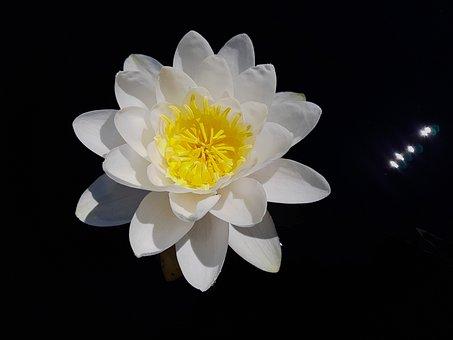 Water Lily, Nymphaea, William Doogue, Aquatic Plant