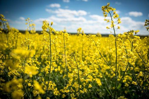 Oilseed Rape, Rape Blossom, Yellow, Field Of Rapeseeds
