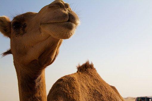 Abu Dhabi, Camel, Desert, Arabic, Summer, Orient