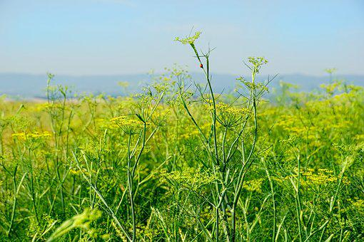 Nature, Agriculture, Field, Anise Flower, Anise Box