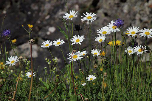 Flowers, The Beasts Of The Field, Alpine, Meadow