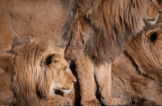 Lion, Full Frame, Fur, Zoo, Animals, Nature, Mammal