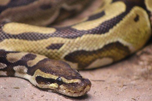 Snake, Python, Reptile, Animal, Ball Python, Ball
