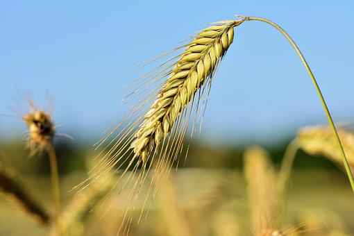 Wheat, Barley, Cereals, Field, Grain, Harvest