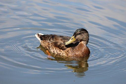Mallard, Duck, Anas Platyrhynchos, Duck Bird, Bird