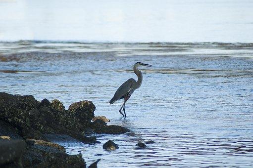 Bird, Great Blue Heron, Heron, Wildlife
