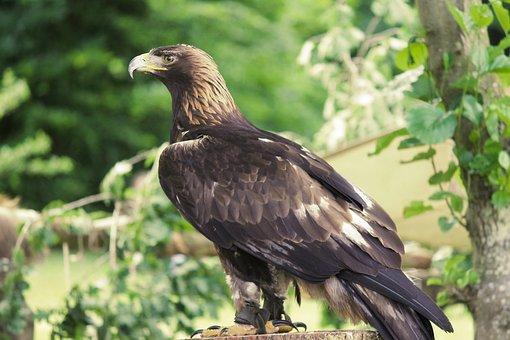 Golden Eagle, Adler, Raptor, Bird, Bill, Bird Of Prey