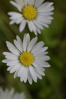 Daisy, Blossom, Flowers, Nature, Bloom, White, Daisies