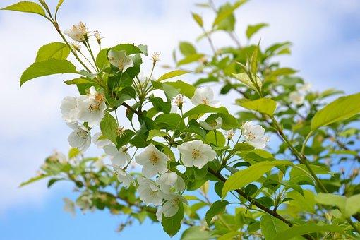 Apple Tree, Tree, Bloom, Branch, Leaves, White Flowers
