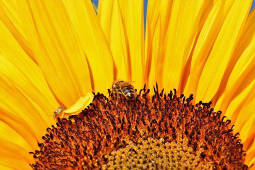 Sun Flower, Flower, Yellow, Blossom, Bloom, Bees