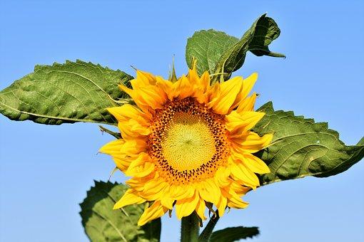 Sun Flower, Flower, Yellow, Blossom, Bloom, Plant