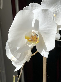 Flower, Blossom, Bloom, Orchid, White, Beautiful