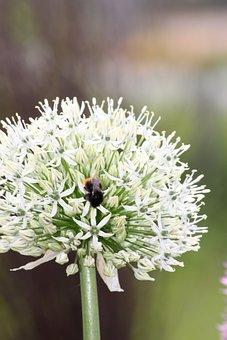 Trim Chive, Blossom, Bloom, Frühlingsblüher, Garden