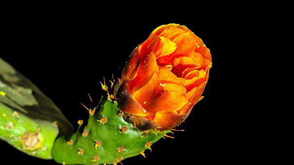 Cactus Flower, Thorny, Cactus, Plant, Flower, Thorns