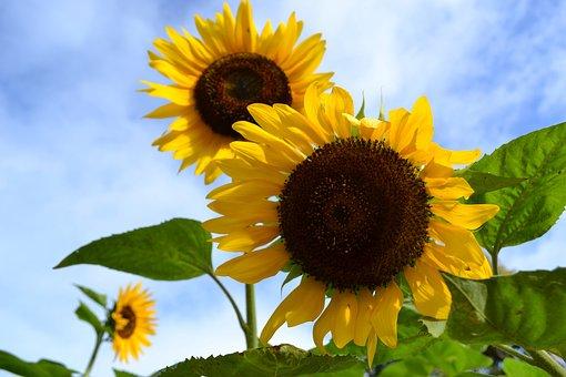 Sunflowers, Cebu, Sirao Flower, Farm Garden, Cebu City