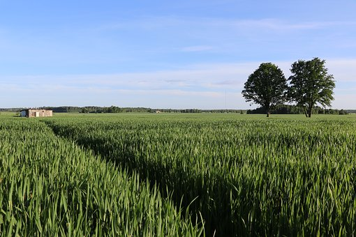 Nature, Cereal Field, Grain, Agriculture