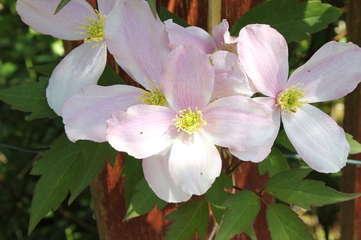 Clematis, Flower, Climber, Garden, Blossom, Header