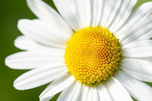 Marguerite, Flower, White, White Flowers, Close, Petals
