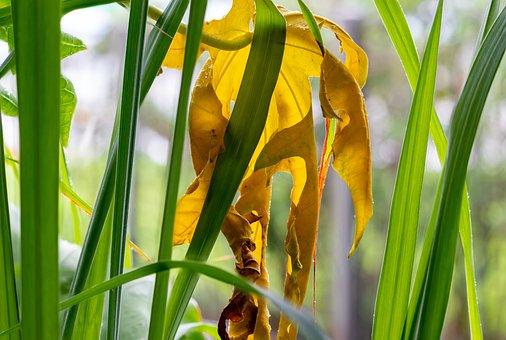 Yellow Leaf, Papaya Leaf, Lemongrass, Colorful, Nature