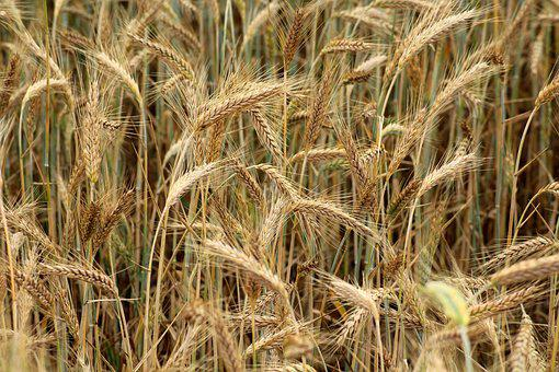 Barley, Corn, The Cultivation Of, Agriculture, Field